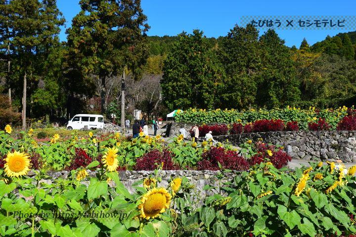 山田ひまわり園のひまわり