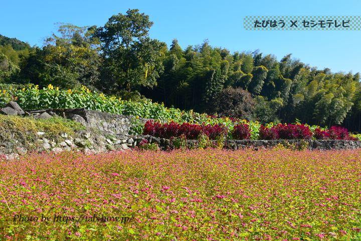 山田ひまわり園の赤ソバの花