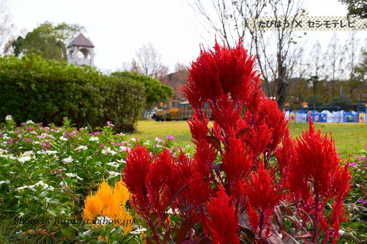 長崎県立総合運動公園のケイトウ