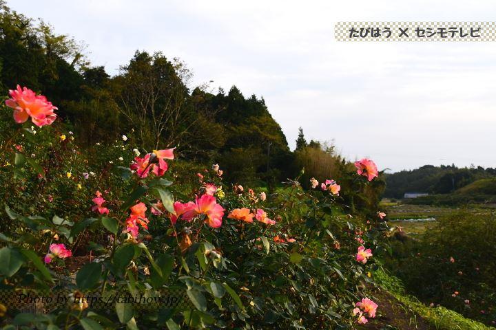 大室さんのバラ園の秋バラ