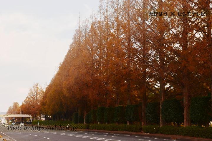 長崎県立総合運動公園のメタセコイア