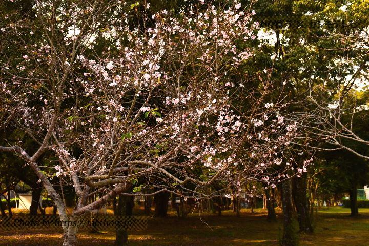 長崎県立総合運動公園の冬桜