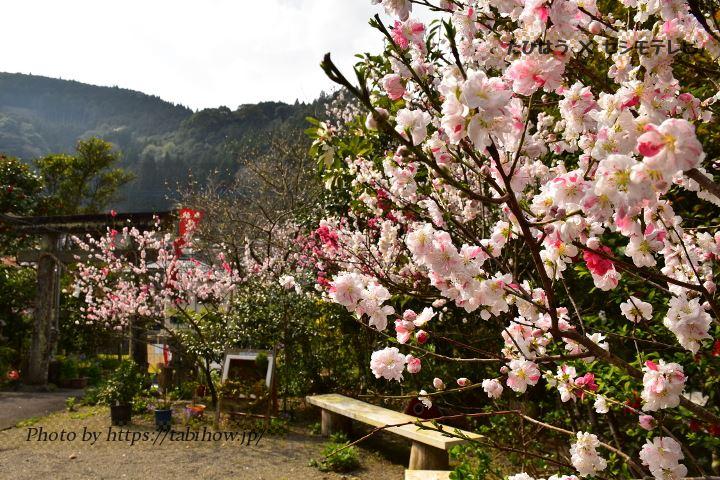 熊本県の桃