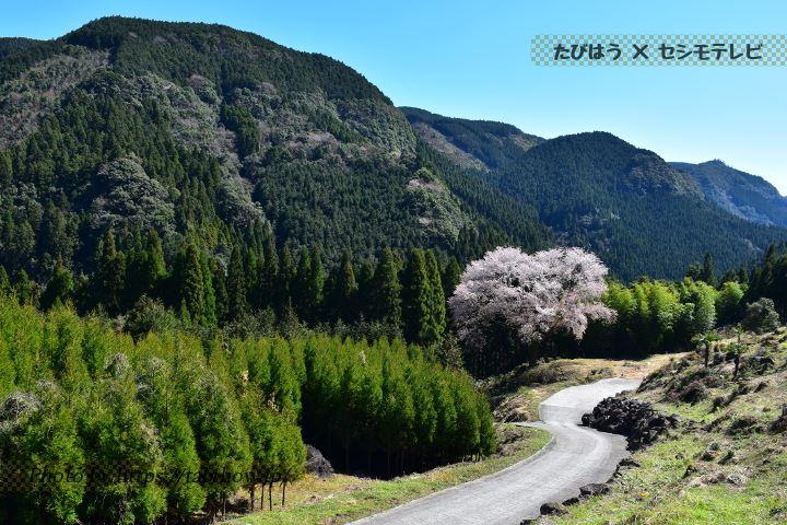 毎床地区の大桜
