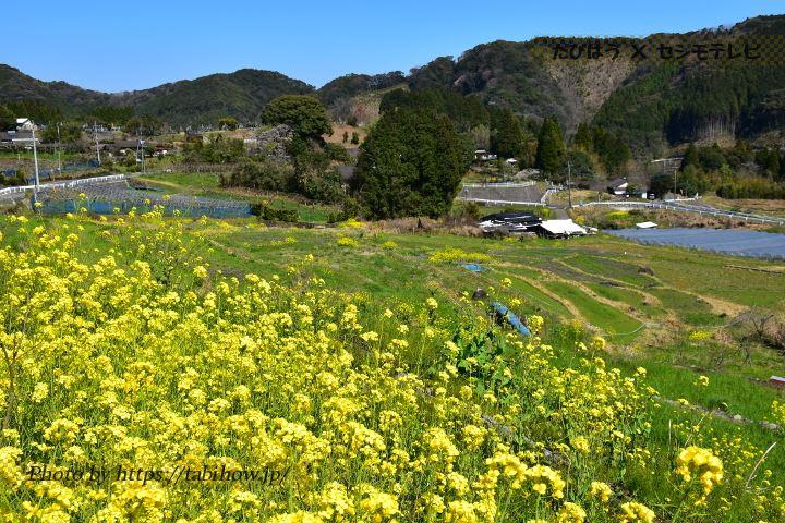 松谷棚田の菜の花