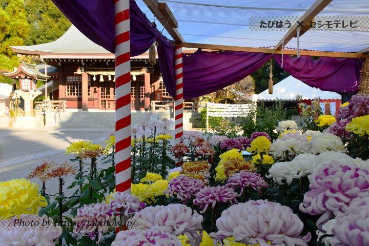 健軍神社の菊