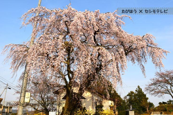 道の駅竹田の桜
