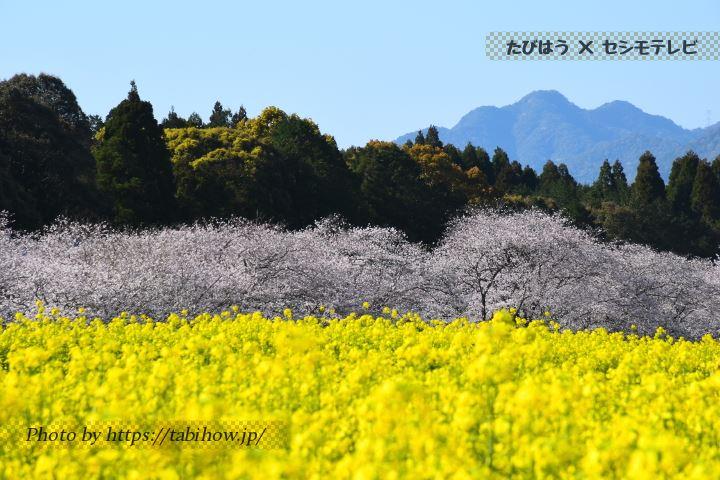 宮崎県の桜と菜の花