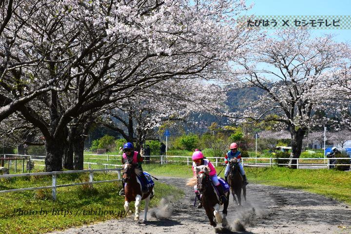 綾馬事公苑の桜