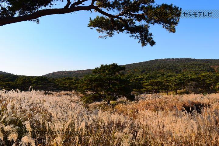 えびの高原のススキ