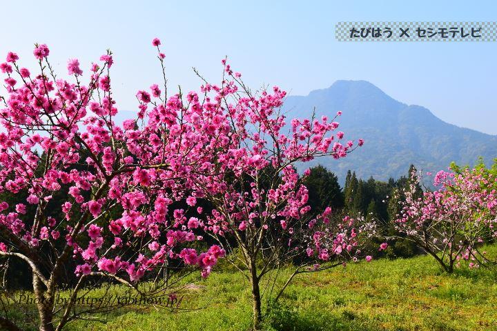 鹿児島県の桃