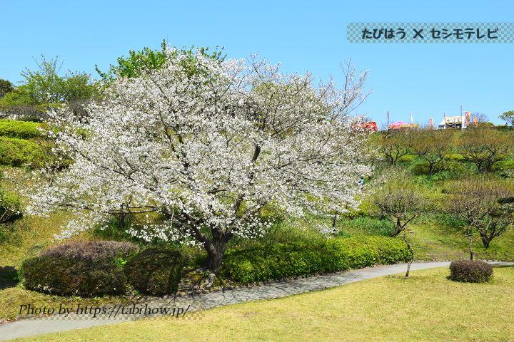 県立吉野公園の桜