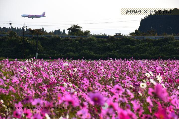 十三塚原史跡公園のコスモス