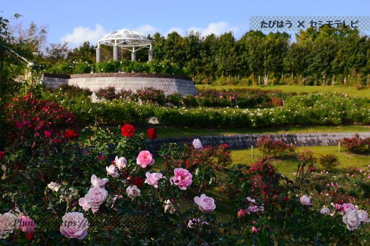 かのやばら園の秋バラ