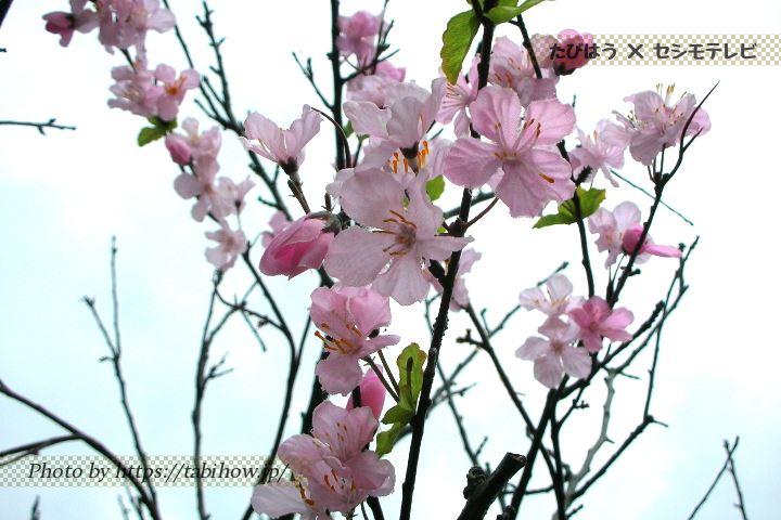 沖縄県の桜