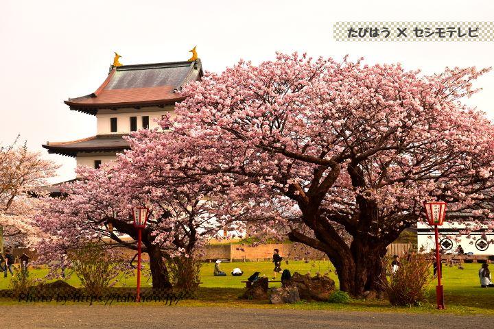 北海道南の桜