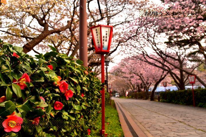 松前公園の椿