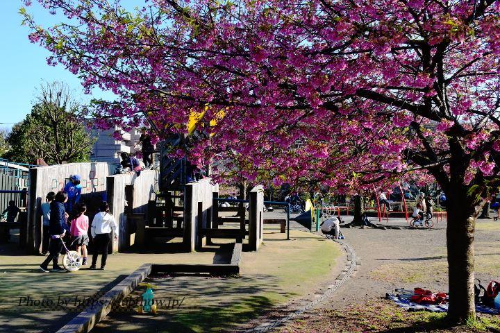 乞田貝取ふれあい広場の早桜、河津桜