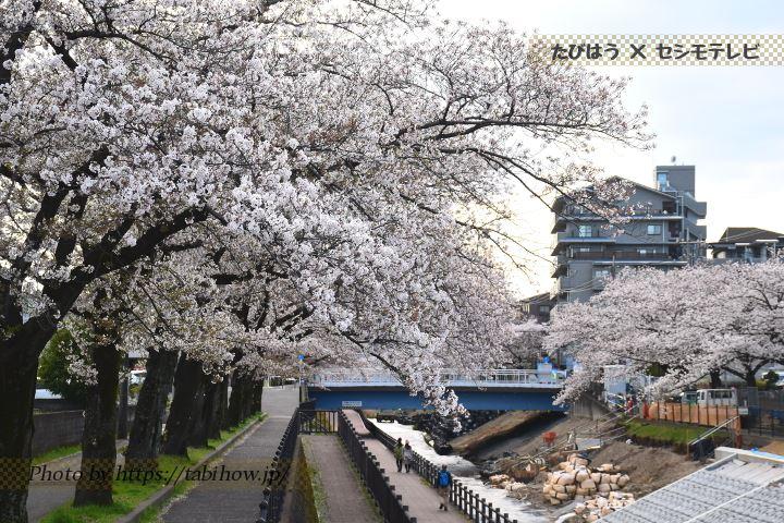 永山乞田川の桜