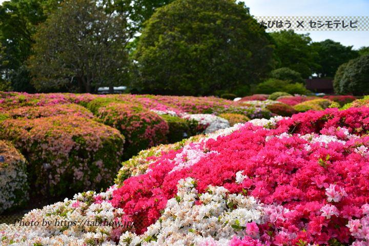 神代植物公園のツツジ、シャクナゲ