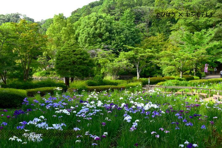 薬師池公園の花しょうぶ