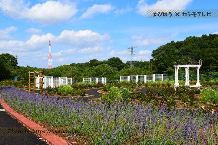 野津田公園のラベンダー
