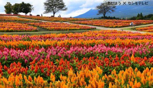 栃木県の花畑42品種96名所!春夏秋冬の見頃
