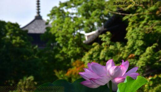 京都府の花畑34品種102名所!春夏秋冬の見頃